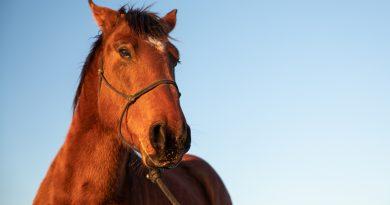 Wichtiger Meilenstein Erreicht, auf der Straße zu Verbieten Pferd Schlachten